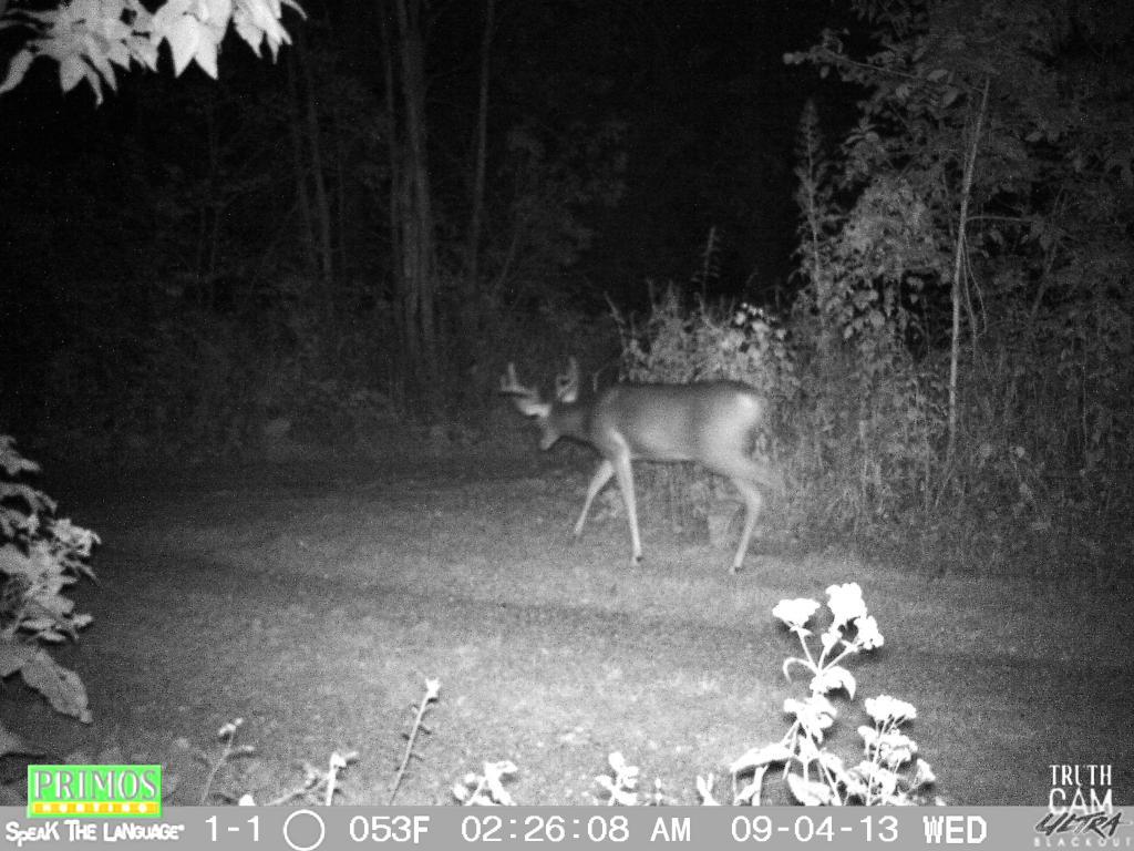 Deer Cam Pic