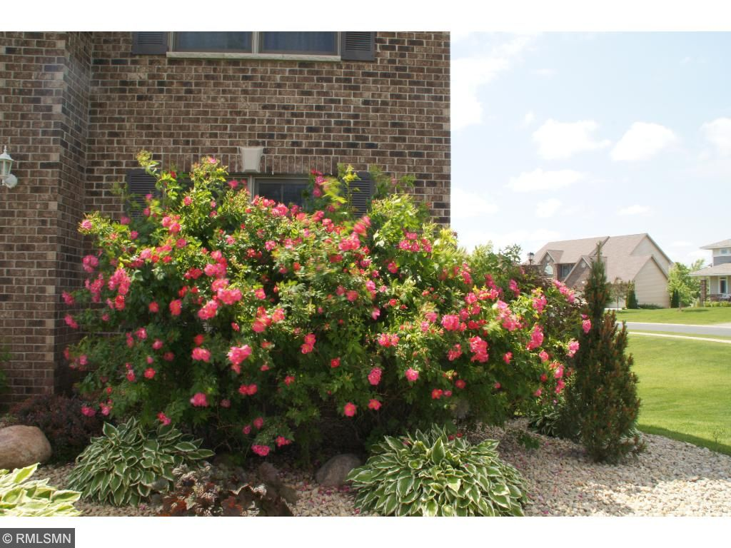 Look at this Rose bush!