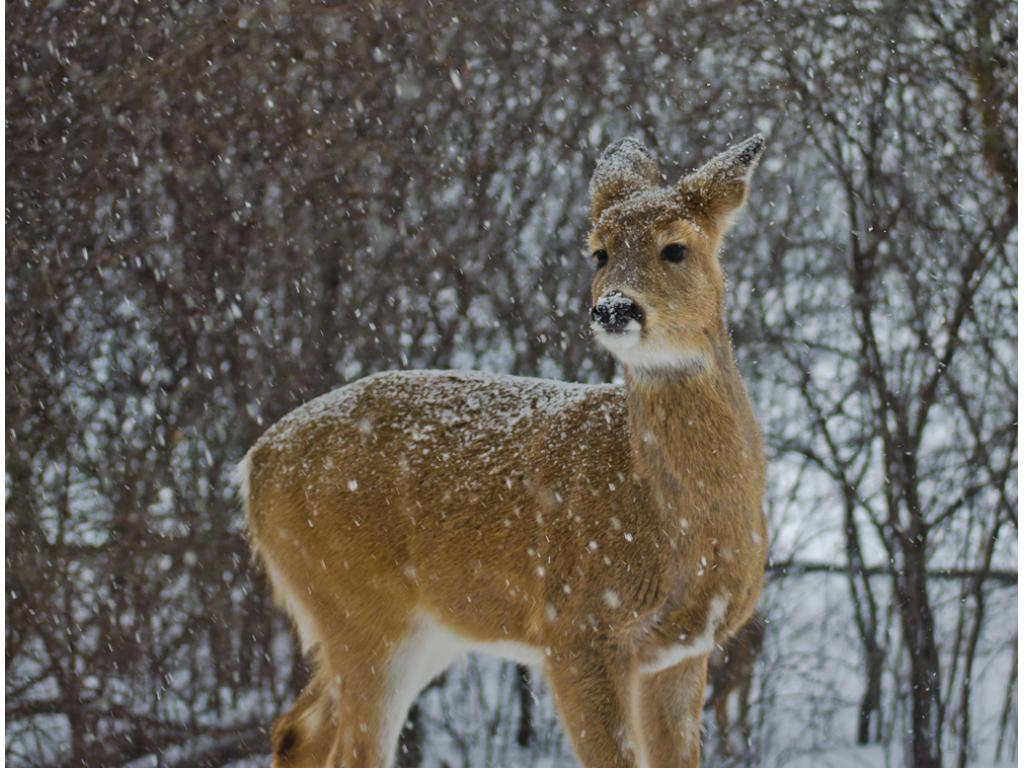 Because of the treed backyard, it's common to see deer in Winter.  There are also occasional turkeys, pheasants, and other wildlife!