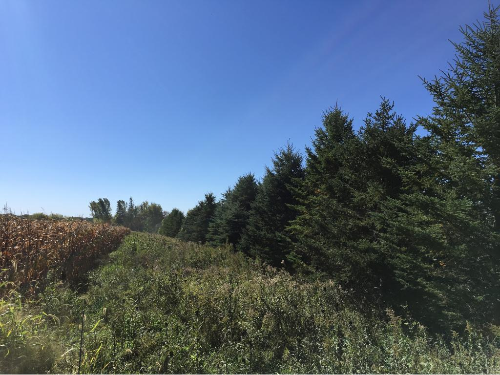 Pine trees along the tillable acres